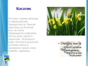 Касатик Растение с яркими жёлтыми и синими цветами. Произрастает по берегам р