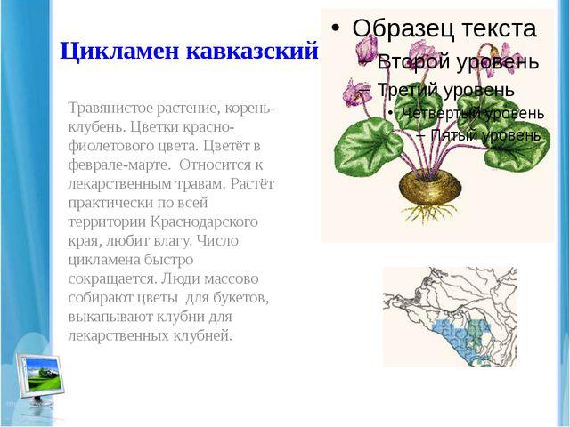 Цикламен кавказский Травянистое растение, корень-клубень. Цветки красно- фиол...