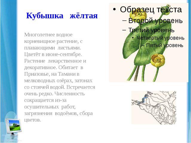 Кубышка жёлтая Многолетнее водное корневищное растение, с плавающими листьями...