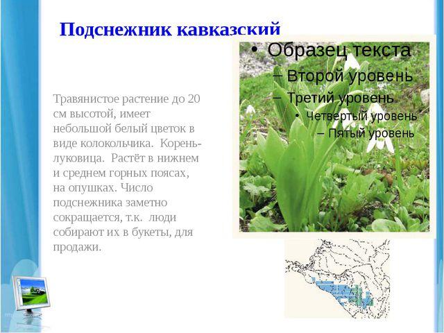 Подснежник кавказский Травянистое растение до 20 см высотой, имеет небольшой...