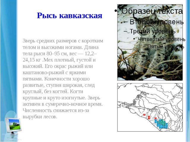 Рысь кавказская Зверь средних размеров с коротким телом и высокими ногами. Дл...