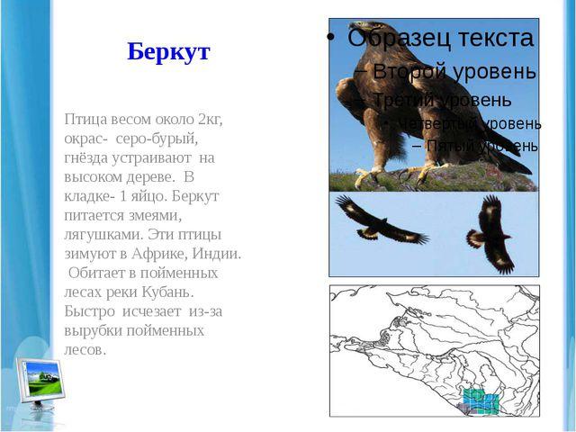 Беркут Птица весом около 2кг, окрас- серо-бурый, гнёзда устраивают на высоком...