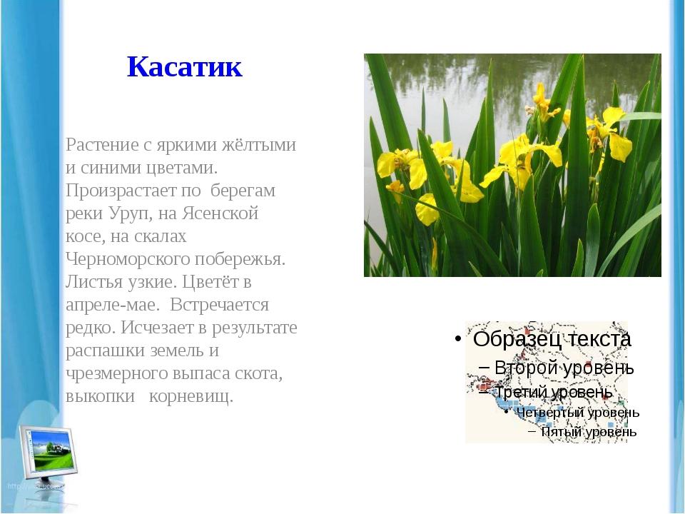 Касатик Растение с яркими жёлтыми и синими цветами. Произрастает по берегам р...