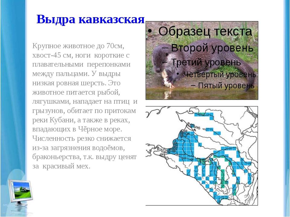 Выдра кавказская Крупное животное до 70см, хвост-45 см, ноги короткие с плава...