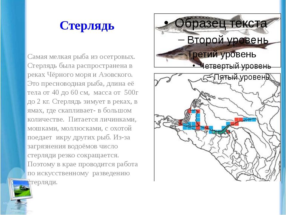 Стерлядь Самая мелкая рыба из осетровых. Стерлядь была распространена в реках...