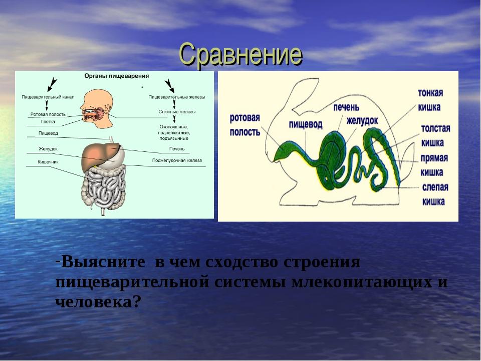 Сравнение Выясните в чем сходство строения пищеварительной системы млекопитаю...