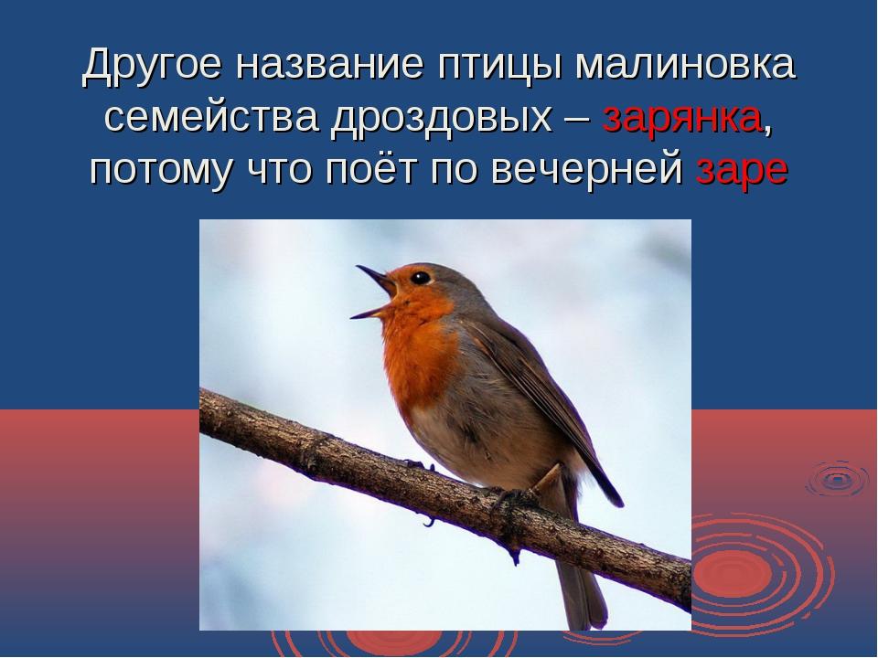 Другое название птицы малиновка семейства дроздовых – зарянка, потому что поё...