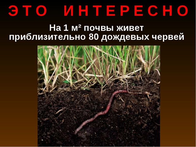 На 1 м² почвы живет приблизительно 80 дождевых червей Э Т О И Н Т Е Р Е С Н О