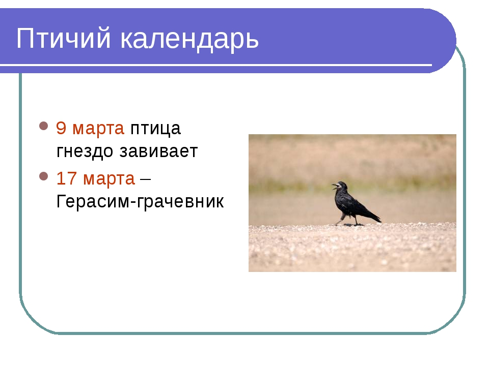 Птичий календарь 9 марта птица гнездо завивает 17 марта – Герасим-грачевник