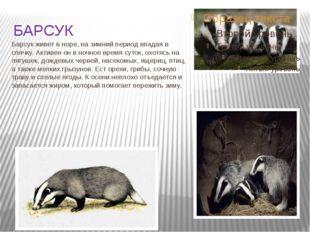 БАРСУК Барсук живет в норе, на зимний период впадая в спячку. Активен он в но