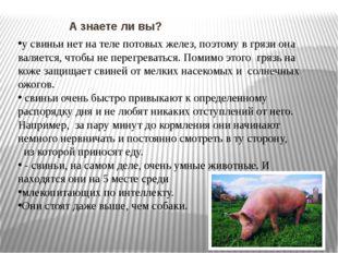 А знаете ли вы? у свиньи нет на теле потовых желез, поэтому в грязи она валя