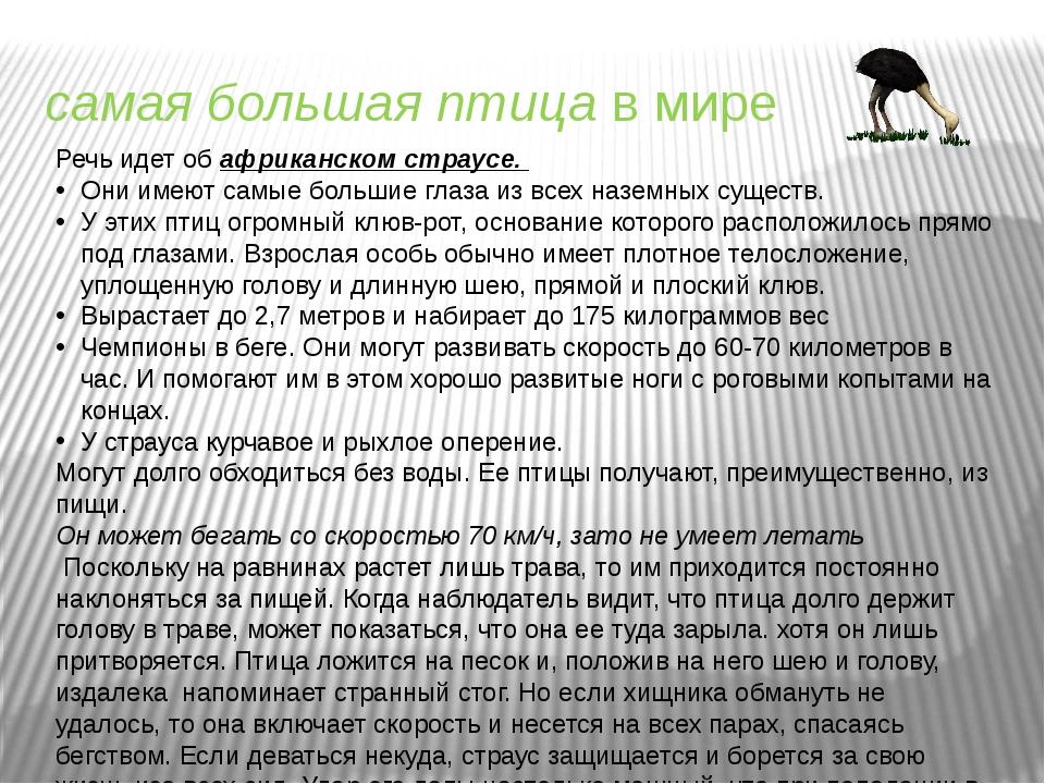 самая большая птицав мире Речь идет об африканском страусе. Они имеют самые...