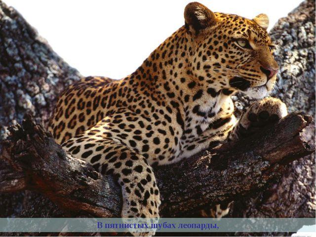 В пятнистых шубах леопарды,