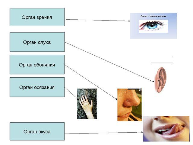 Орган зрения Орган слуха Орган вкуса Орган обоняния Орган осязания