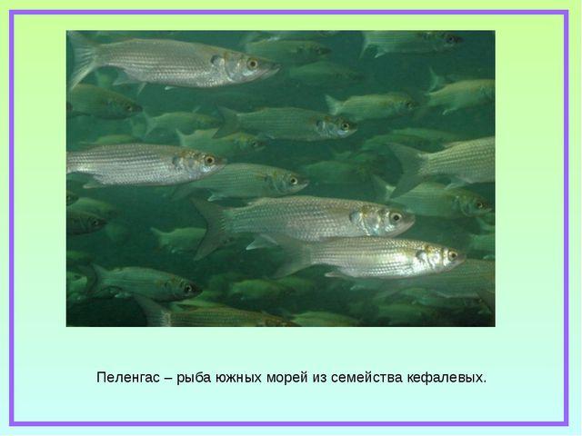 Пеленгас – рыба южных морей из семейства кефалевых.