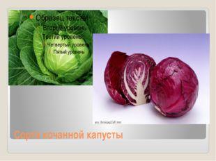 Сорта кочанной капусты
