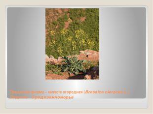 Предковая форма – капуста огородная (Brassica oleracea L.) Родина - Средиземн