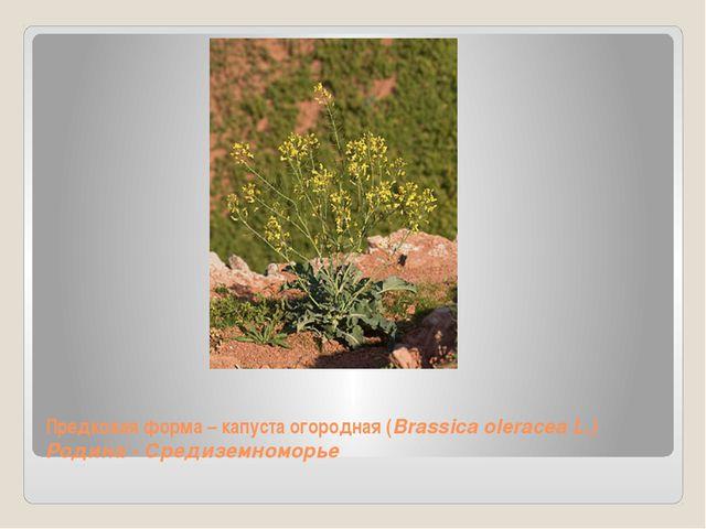 Предковая форма – капуста огородная (Brassica oleracea L.) Родина - Средиземн...