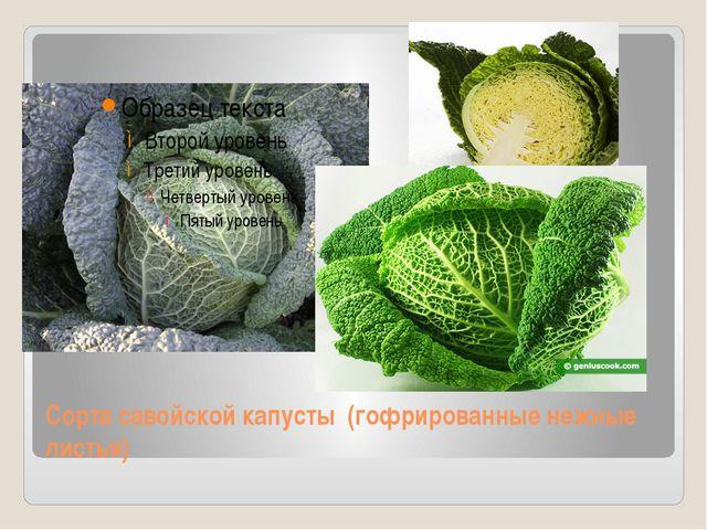 Сорта савойской капусты (гофрированные нежные листья)