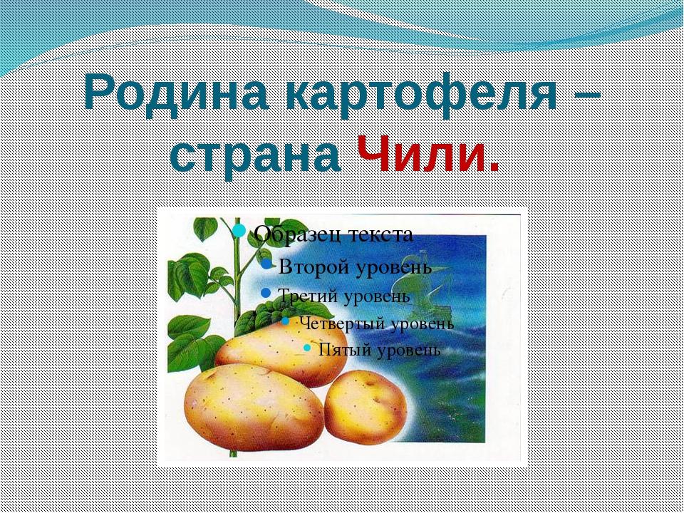 Родина картофеля – страна Чили.