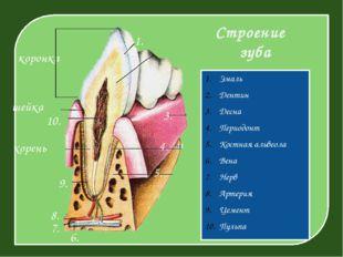 Строение зуба Эмаль Дентин Десна Периодонт Костная альвеола Вена Нерв Артери