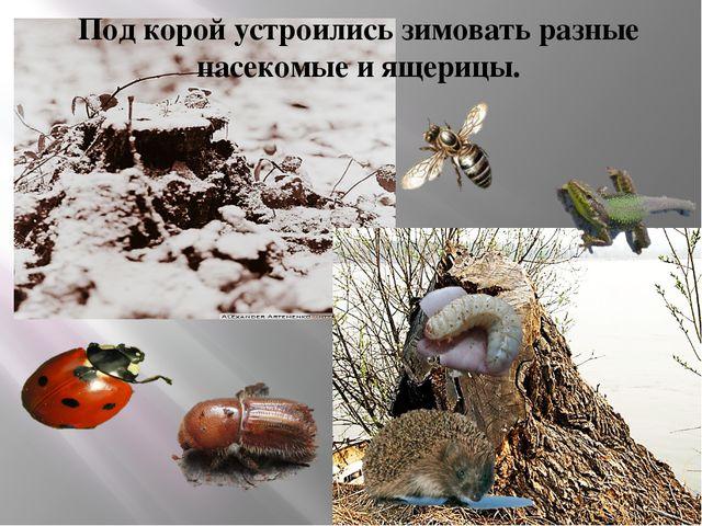 Под корой устроились зимовать разные насекомые и ящерицы.