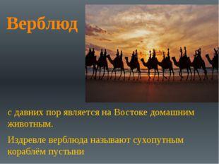 Верблюд с давних пор является на Востоке домашним животным. Издревле верблюда