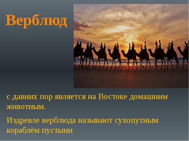 Верблюд с давних пор является на Востоке домашним животным. Издревле верблюда...