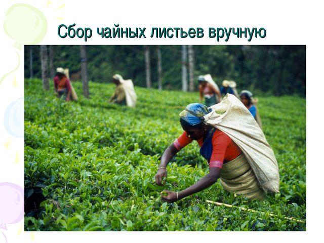 Сбор чайных листьев вручную