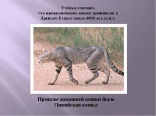 Предком домашней кошки была Ливийская кошка