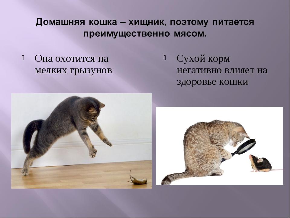 Она охотится на мелких грызунов Сухой корм негативно влияет на здоровье кошки