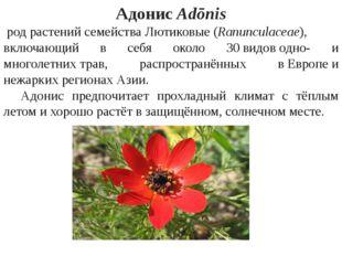АдонисAdōnis родрастенийсемействаЛютиковые(Ranunculaceae), включающий в