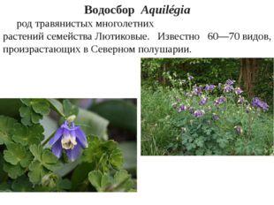 ВодосборAquilégia родтравянистыхмноголетних растенийсемействаЛютиковые