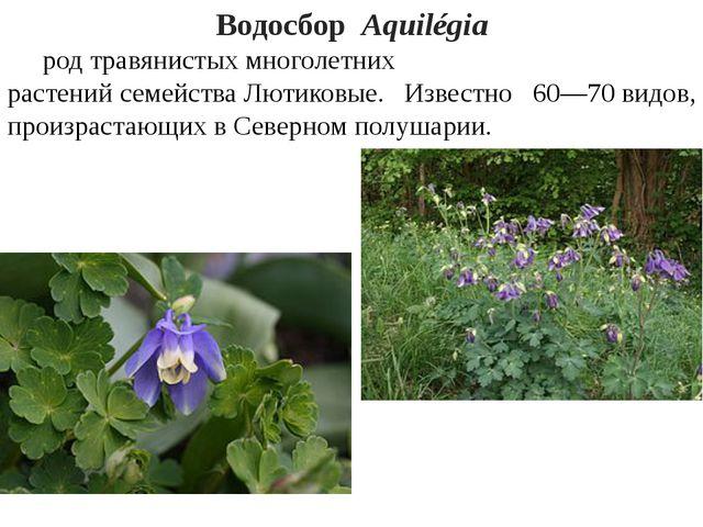 ВодосборAquilégia родтравянистыхмноголетних растенийсемействаЛютиковые...