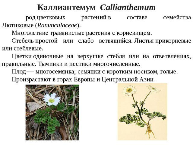 Каллиантемум Callianthemum родцветковых растенийв составе семейства Лютик...