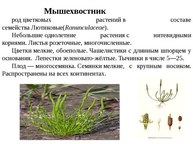 Мышехвостник Myosúrus родцветковых растенийв составе семействаЛютиковые(...