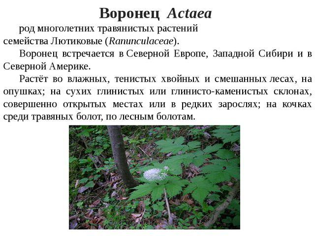 Воронец Actаea родмноголетнихтравянистыхрастений семействаЛютиковые(R...