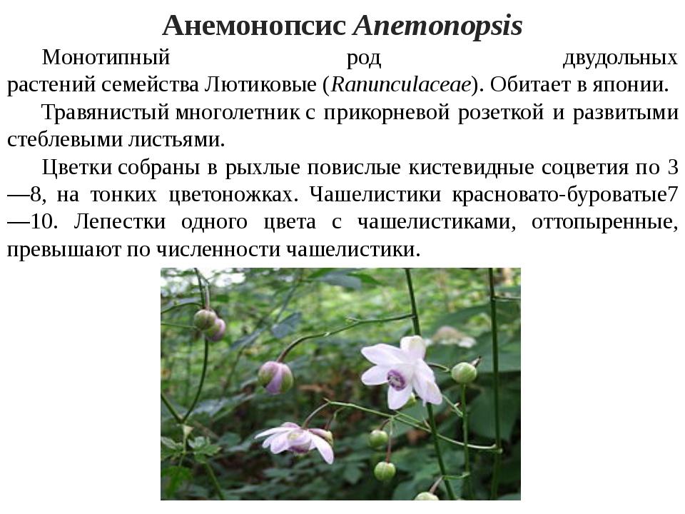АнемонопсисAnemonopsis Монотипный род двудольных растенийсемействаЛютико...