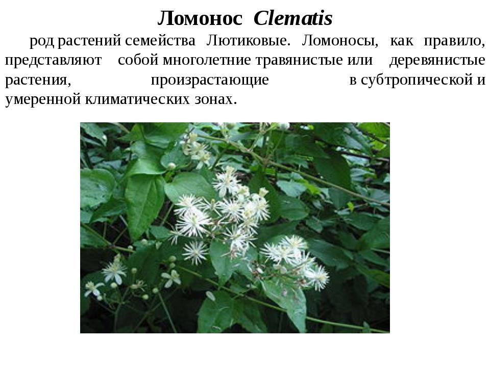 Ломонос Clеmatis родрастенийсемейства Лютиковые. Ломоносы, как правило,...