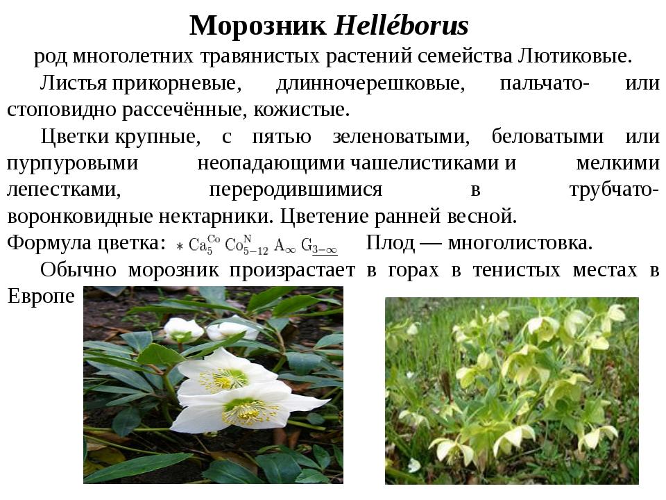 Морозник Helléborus родмноголетнихтравянистыхрастенийсемействаЛютиковые...