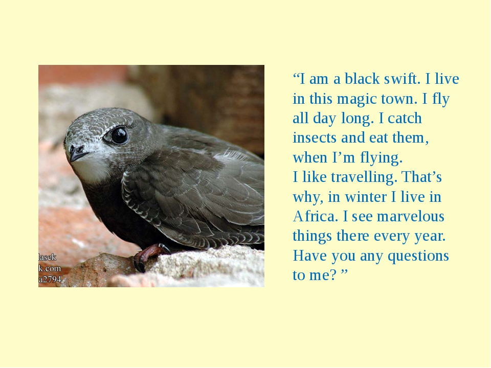 """""""I am a black swift. I live in this magic town. I fly all day long. I catch i..."""