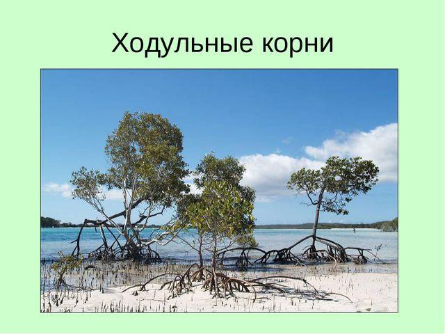 Ходульные корни