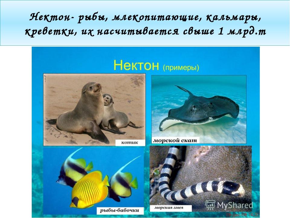Нектон- рыбы, млекопитающие, кальмары, креветки, их насчитывается свыше 1 млр...