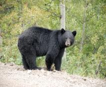 C:\Users\Айжанат\Desktop\4 тоқсан\animals\Black-bear1.jpg