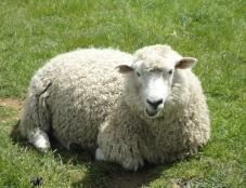 C:\Users\Айжанат\Desktop\4 тоқсан\animals\sheep-03.jpg