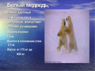Белый медведь, самый крупный из материковых хищников, впечатляет своими разм