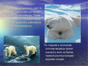 Когда белый медведь идёт по льду, лапы у него согнуты и когти загнуты внутрь