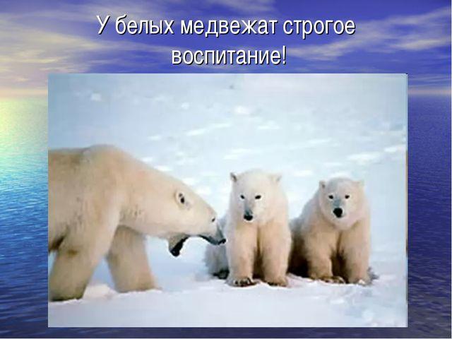 У белых медвежат строгое воспитание!
