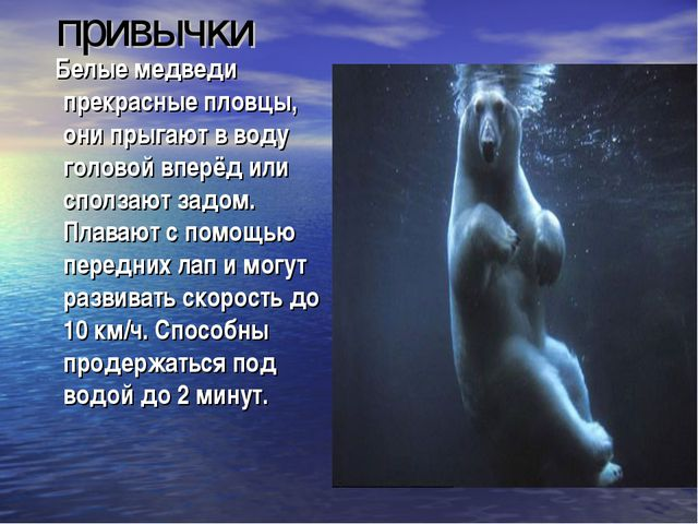 привычки Белые медведи прекрасные пловцы, они прыгают в воду головой вперёд...