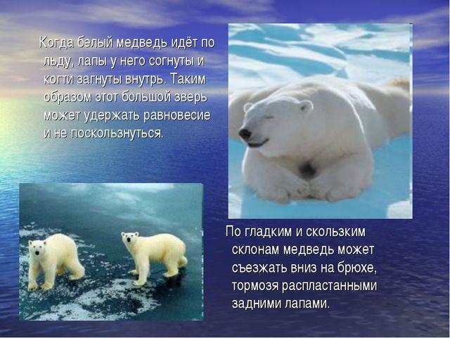 Когда белый медведь идёт по льду, лапы у него согнуты и когти загнуты внутрь...